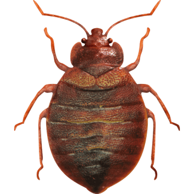 bed bug image by Agile Pest